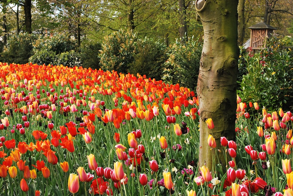 red tulips on green grass field
