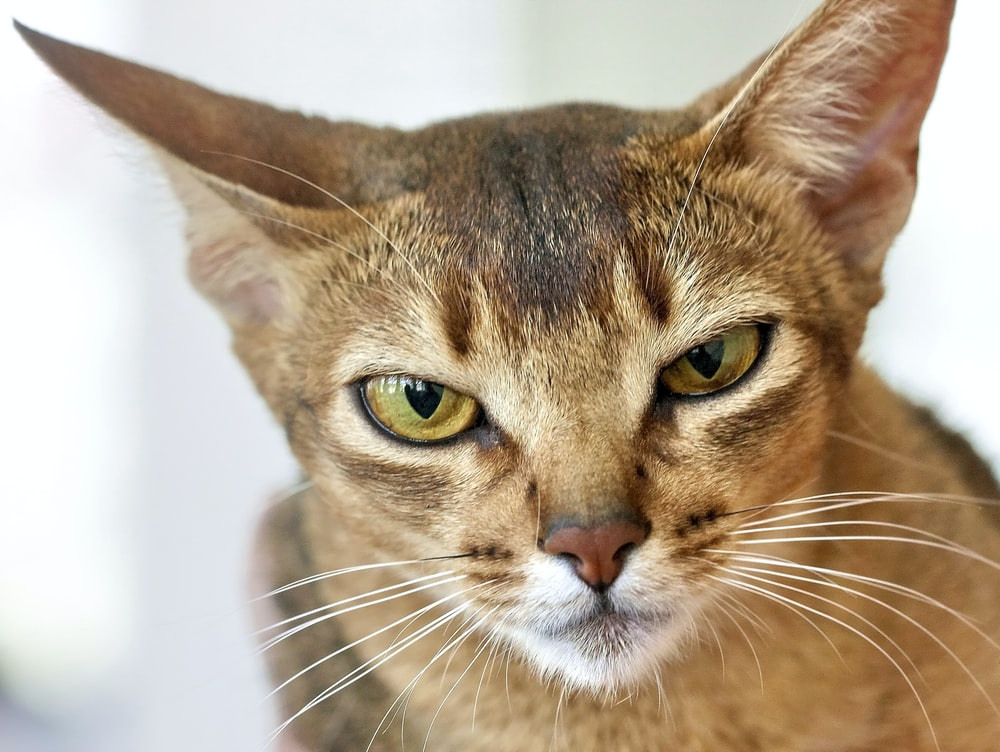 brown tabby cat with white eyes