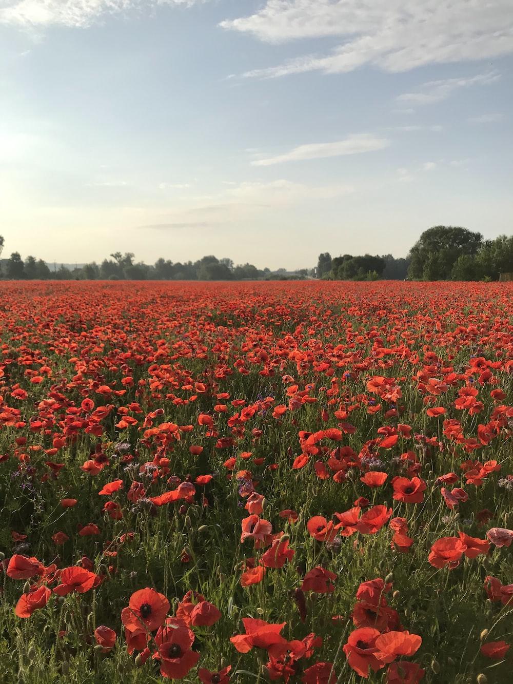 red flower field during daytime