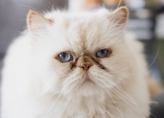 white persian cat on black and white textile