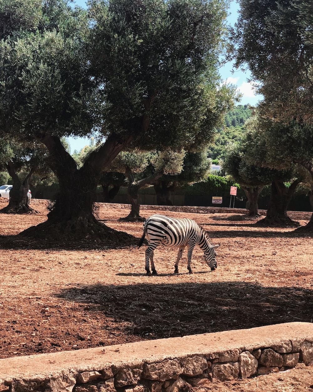 zebra standing on brown soil near green trees during daytime