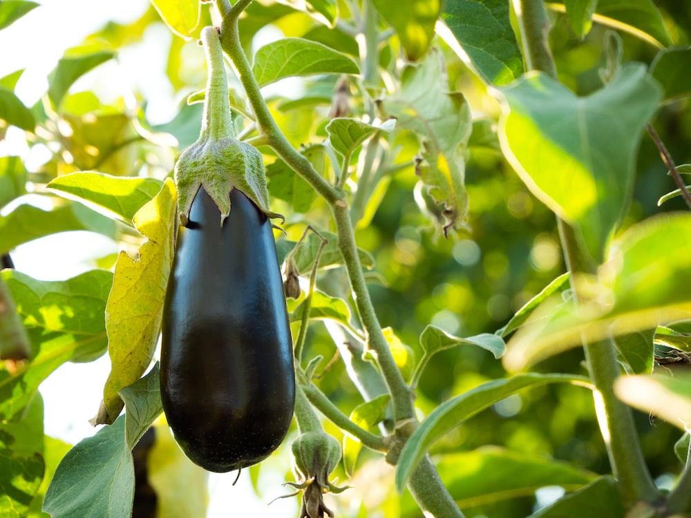 black fruit on green leaves during daytime