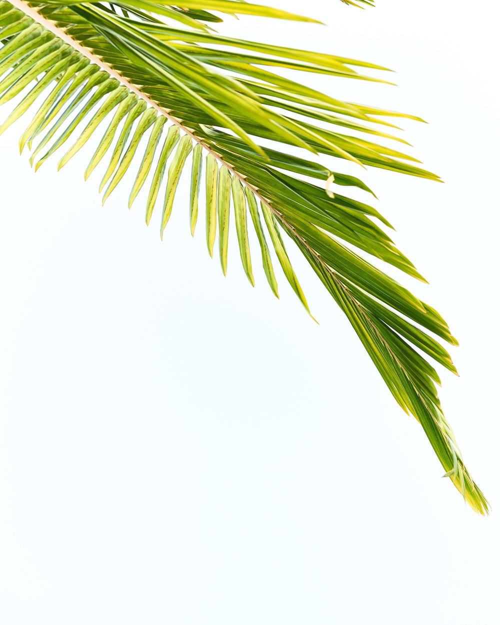 green palm tree leaf on white background