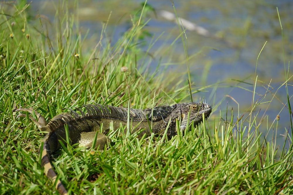 black and white crocodile on green grass during daytime