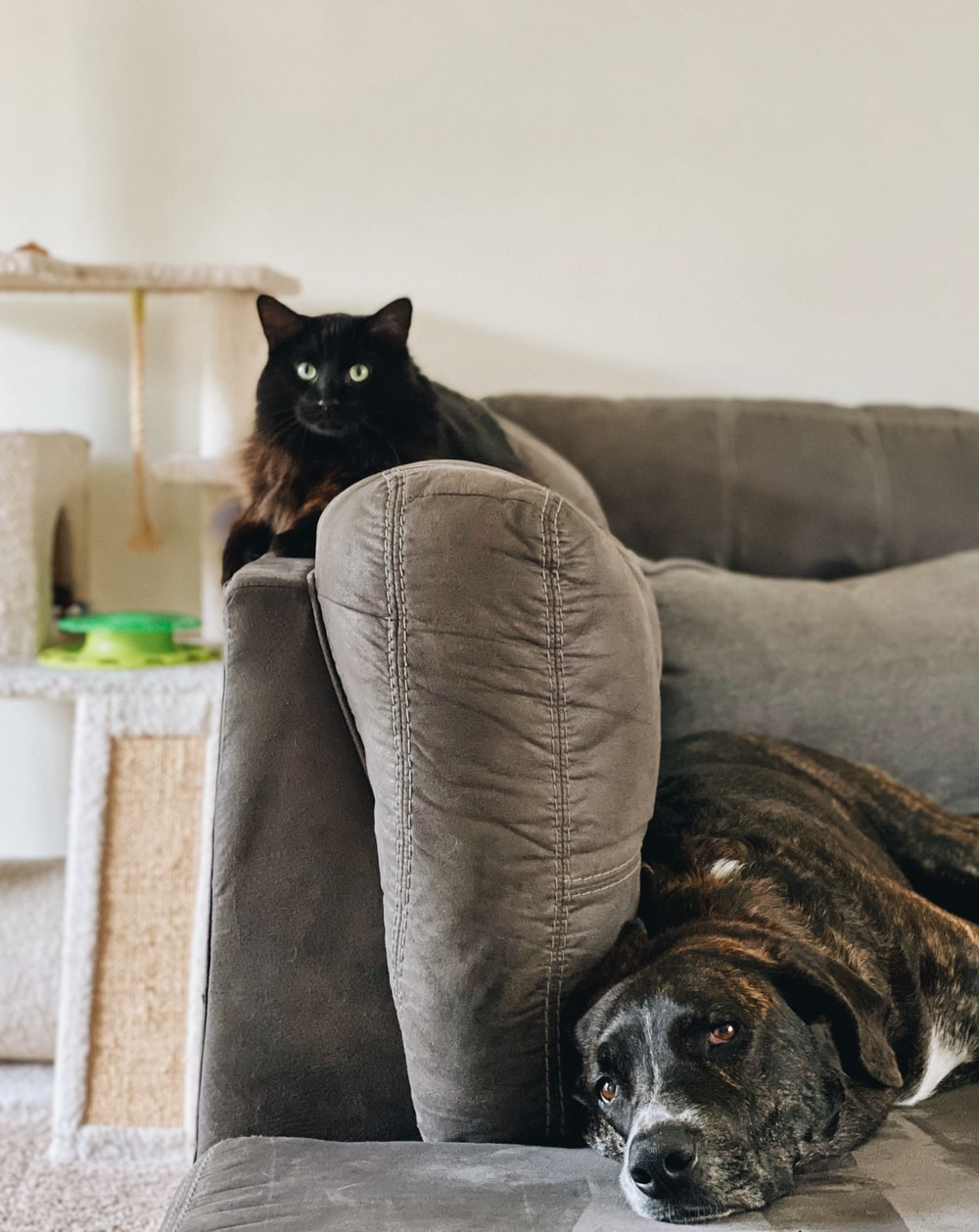 black cat on gray couch