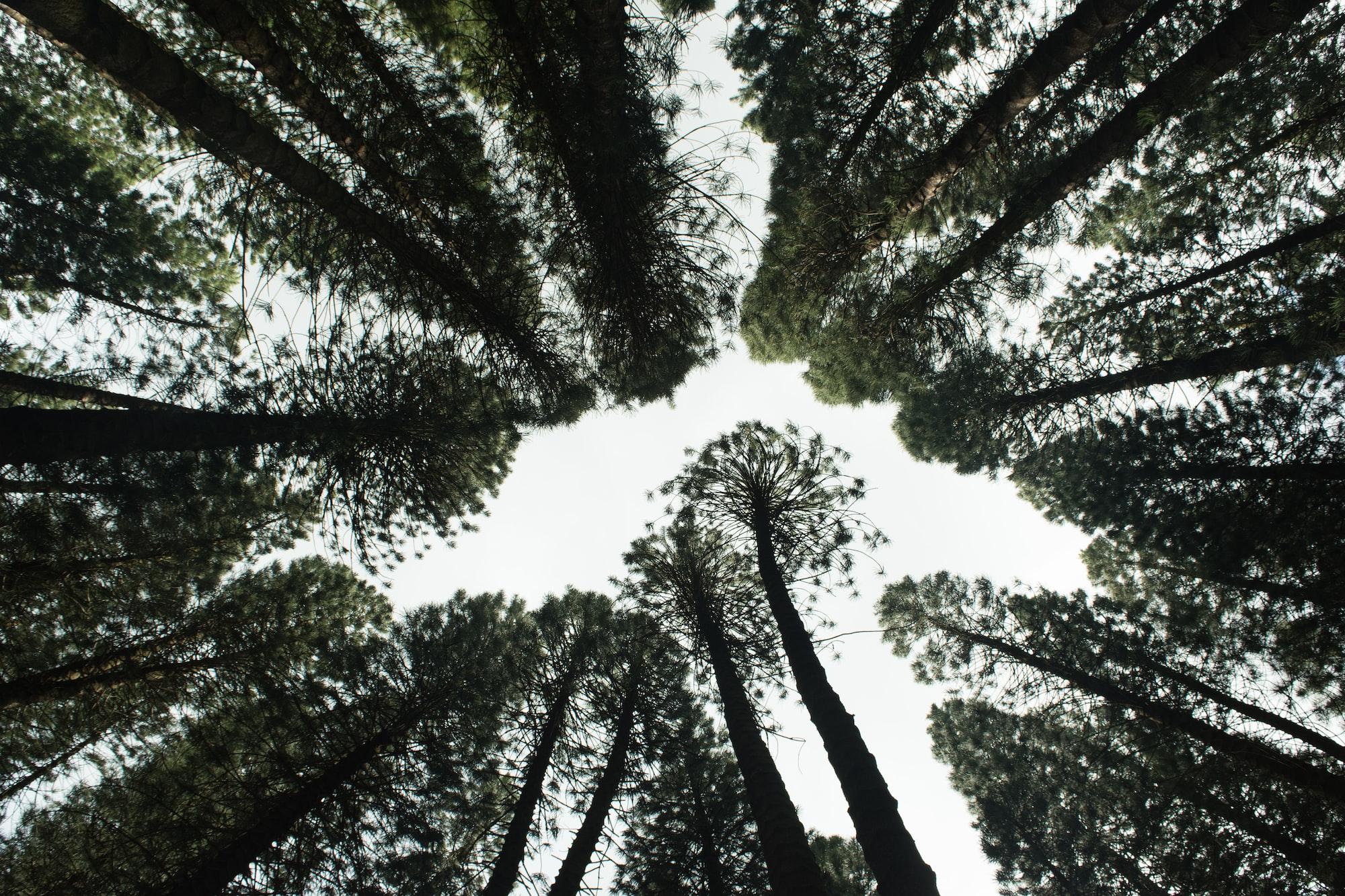 Tall earthy green pine trees on a tall mountain on the island of Oahu on hawaii