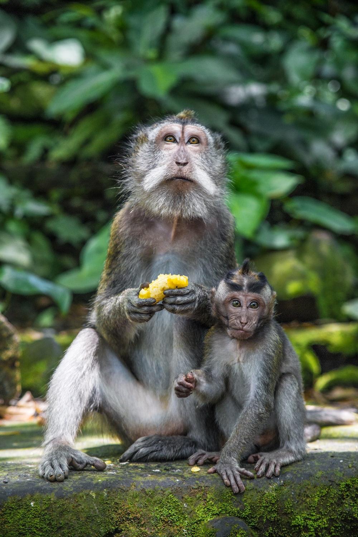 brown monkey eating banana during daytime