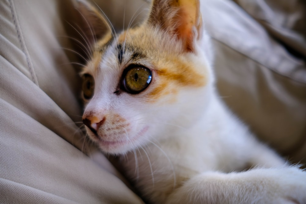 white and orange tabby cat on gray textile