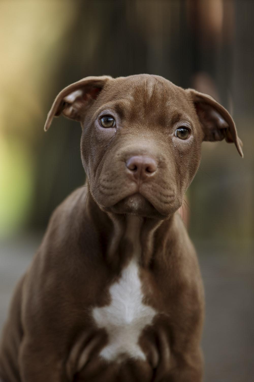 brown short coated medium sized dog