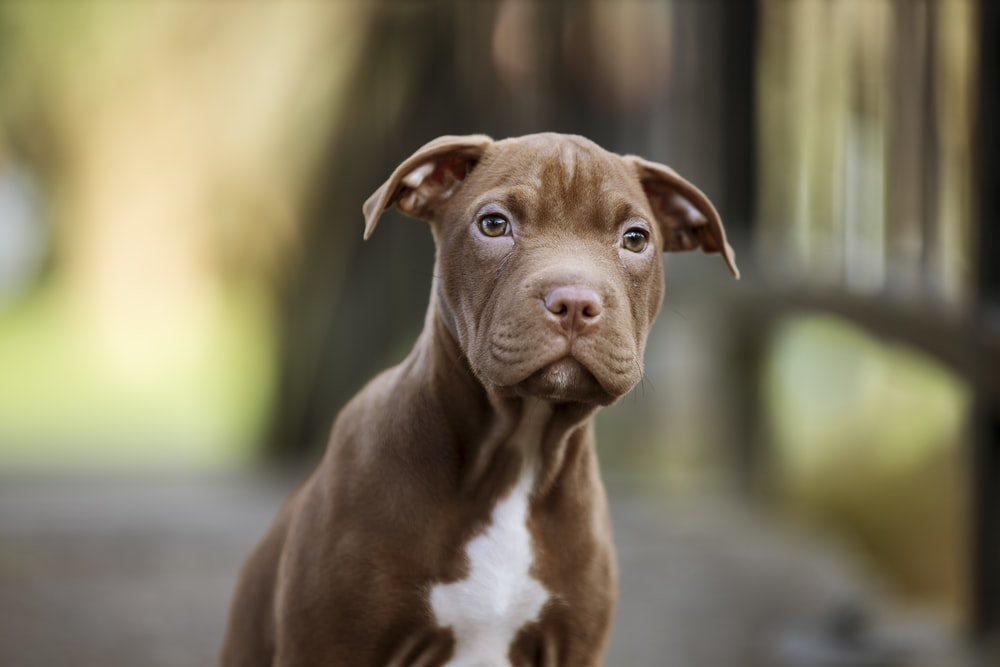 brown and white american pitbull terrier mix puppy