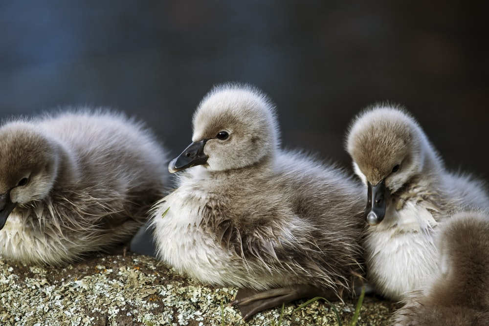 two ducklings on green grass