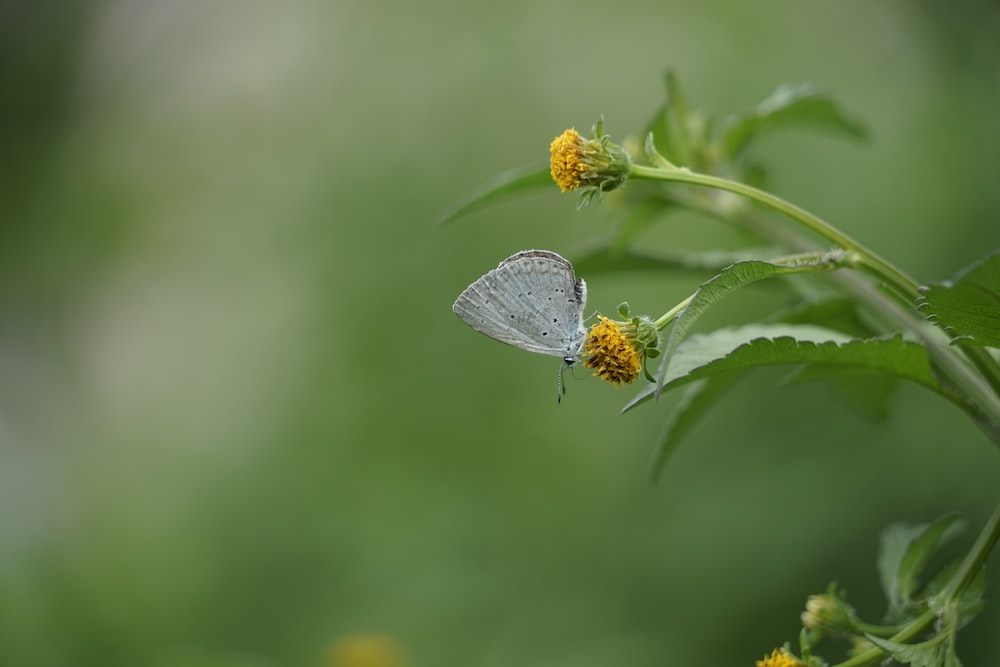 common blue butterfly perched on yellow flower in close up photography during daytime