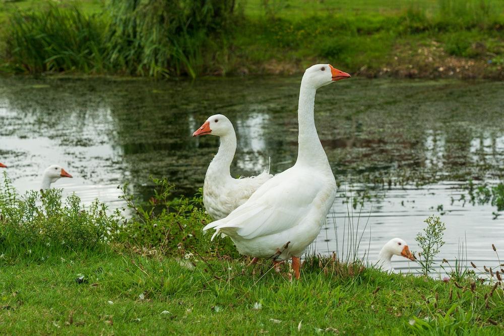white swan on green grass near lake during daytime
