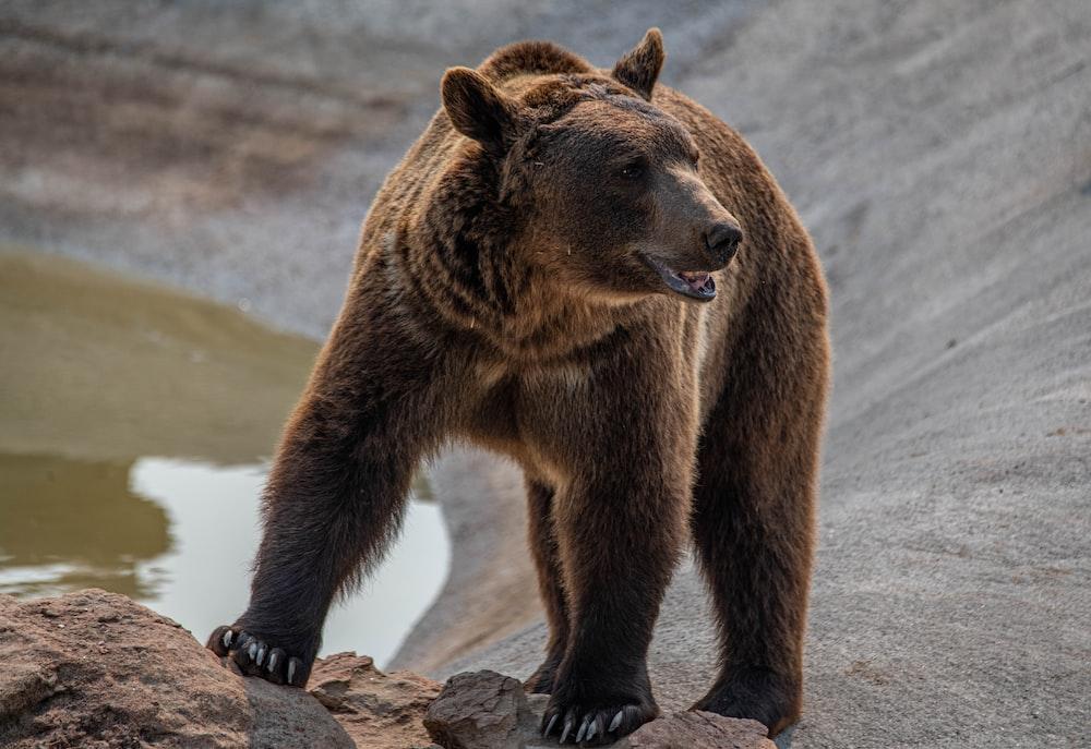 brown bear walking on brown sand during daytime