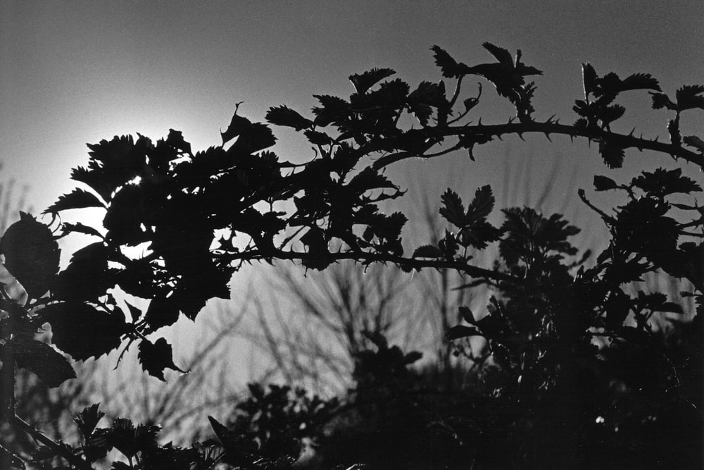 grayscale photo of leaves during daytime