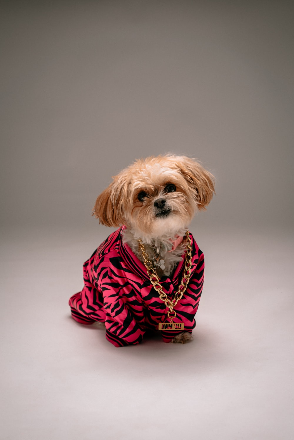 white and brown shih tzu in red and black polka dot dress