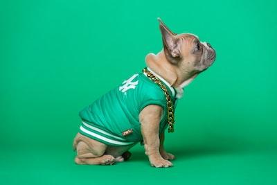 brown pug wearing green shirt yankees teams background