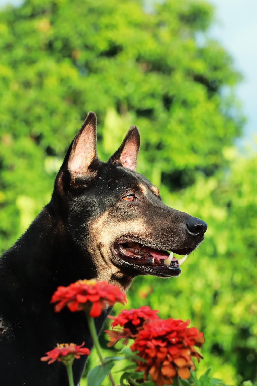 black and tan short coat large dog