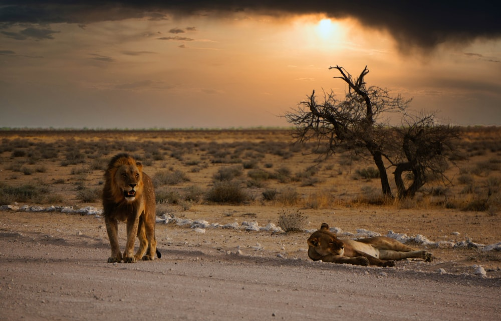 brown lion on gray sand during daytime