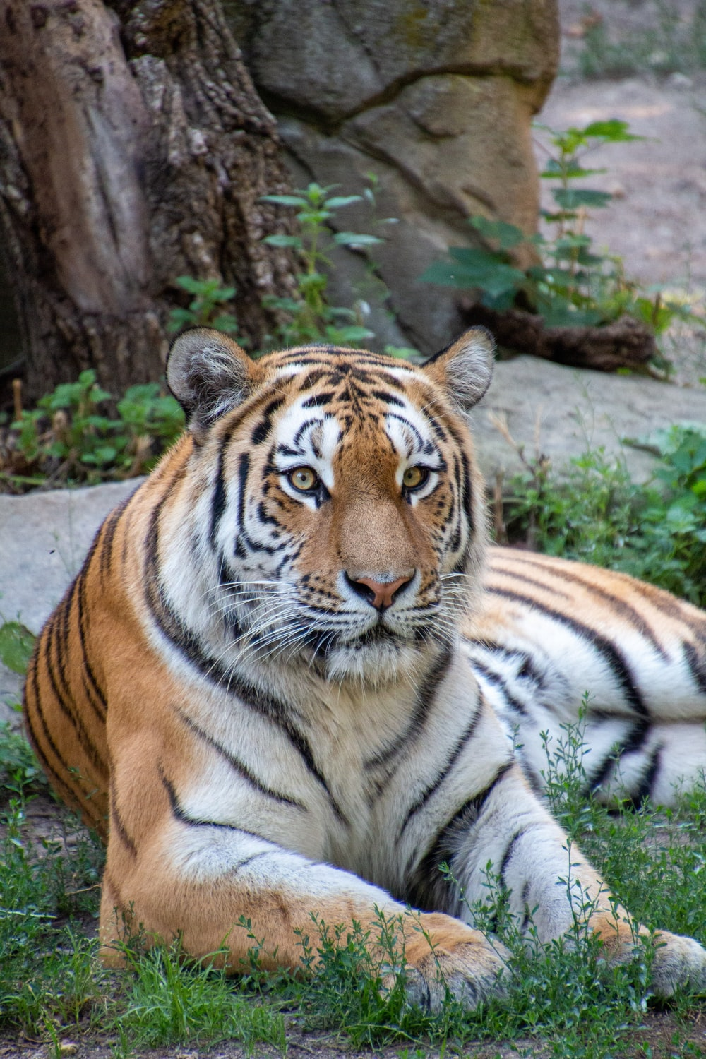 tiger lying on gray concrete floor during daytime