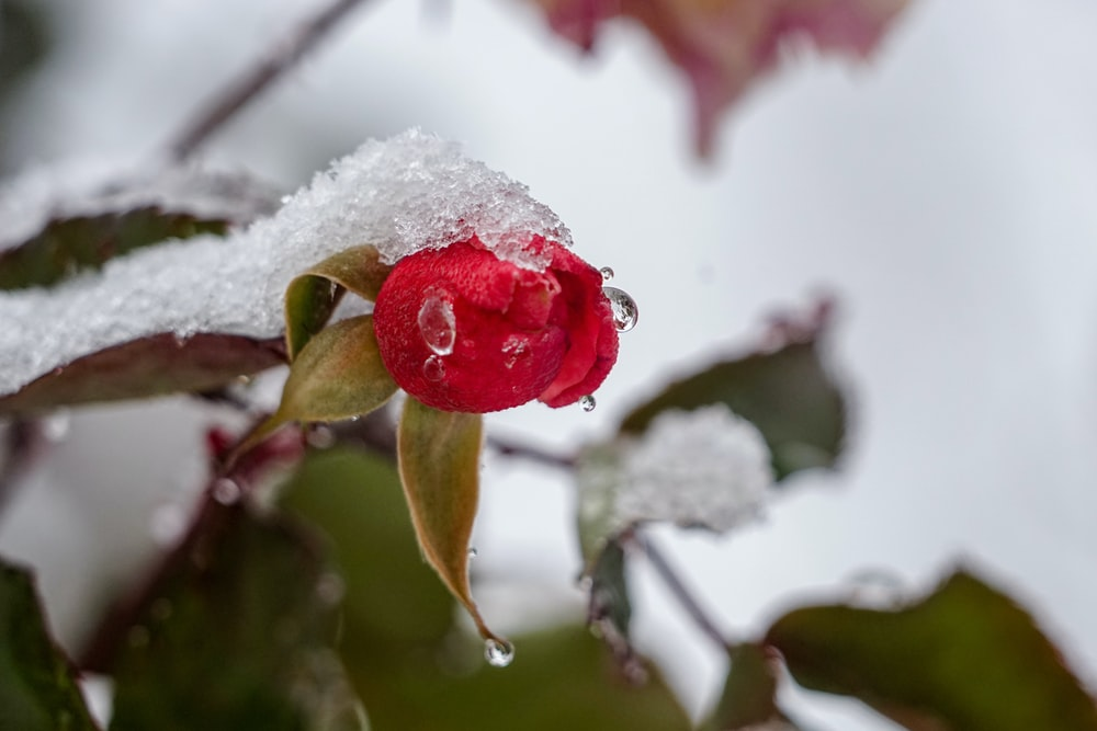 red rose with snow on top