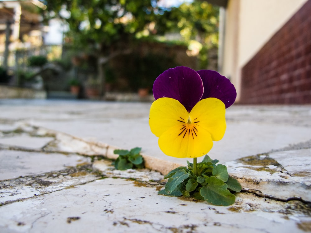yellow and purple flower on gray concrete floor