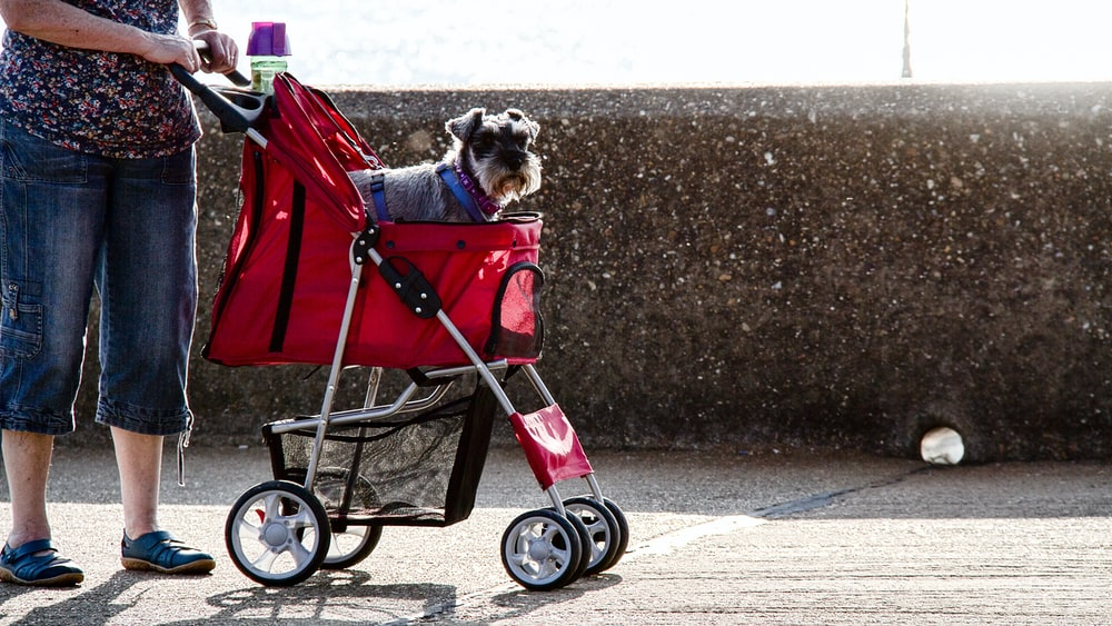 brown and white long coated small dog on red and black stroller