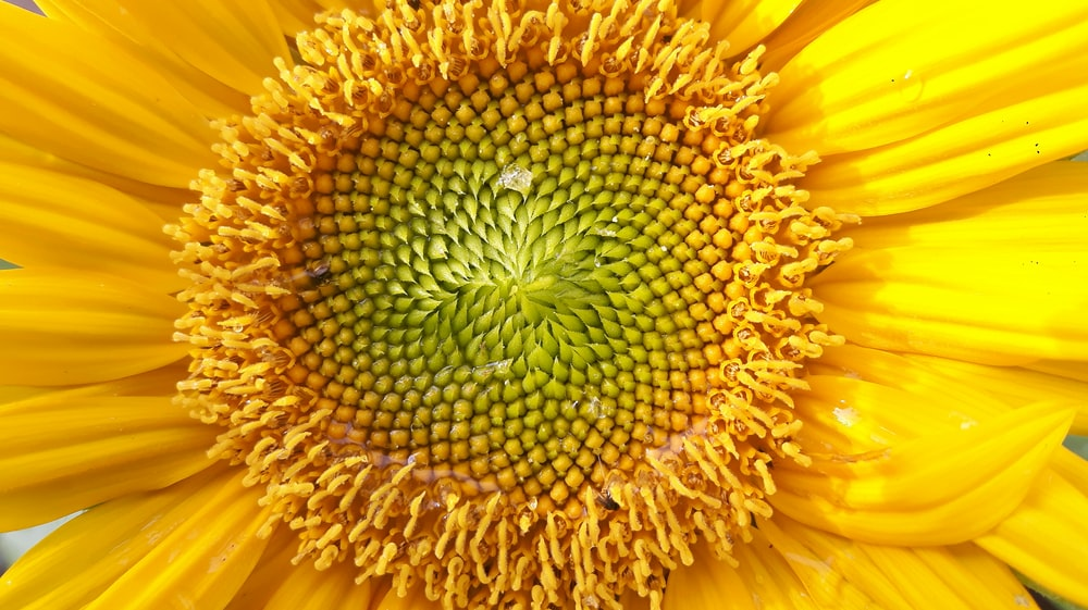 yellow sunflower in bloom close up photo