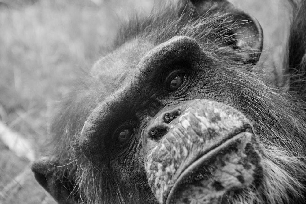 black and white monkey face