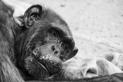 black gorilla on white textile ape zoom background