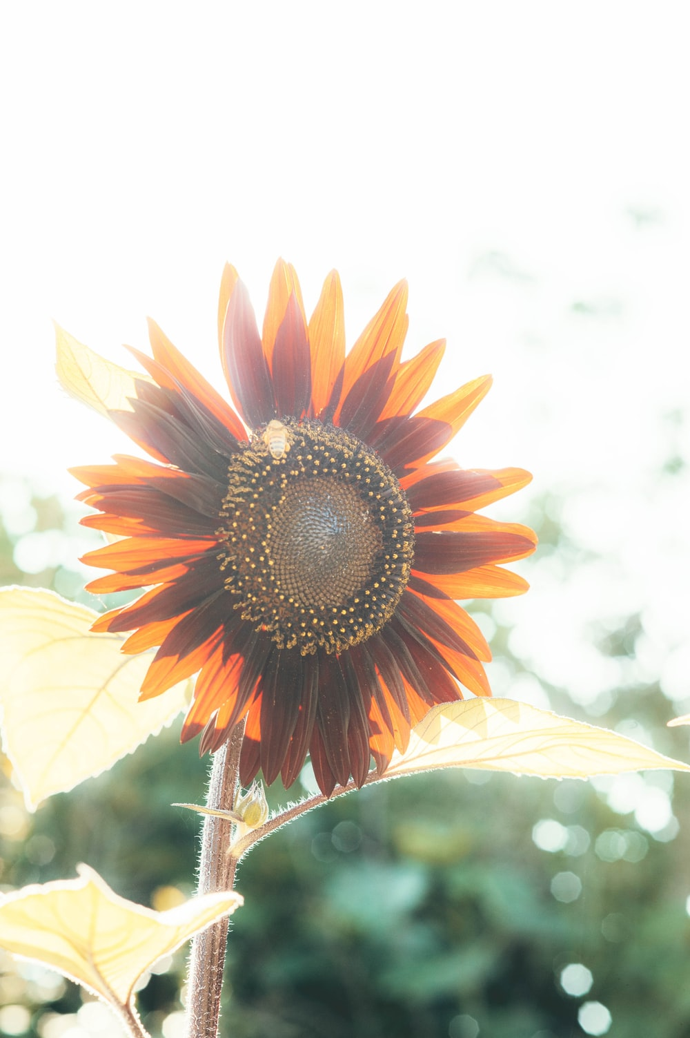 orange sunflower in close up photography