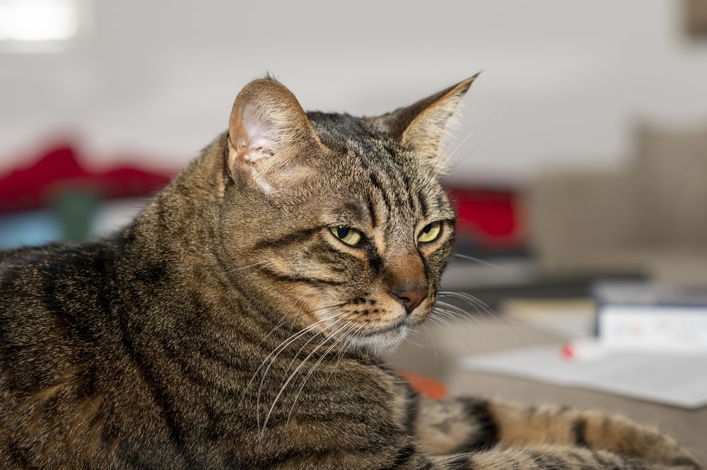 brown tabby cat lying on red textile
