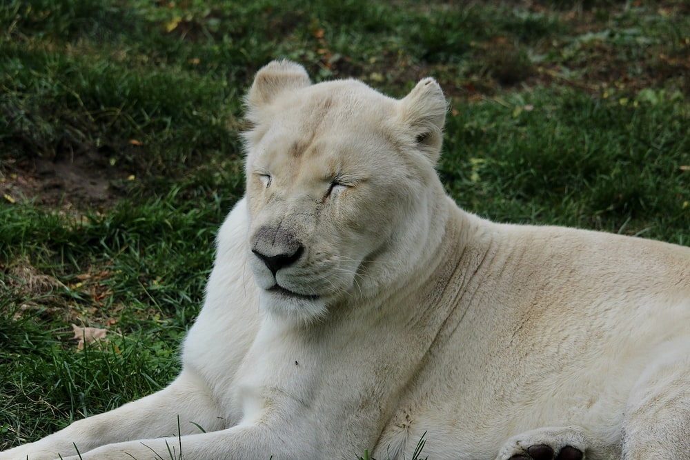 white lioness lying on green grass during daytime