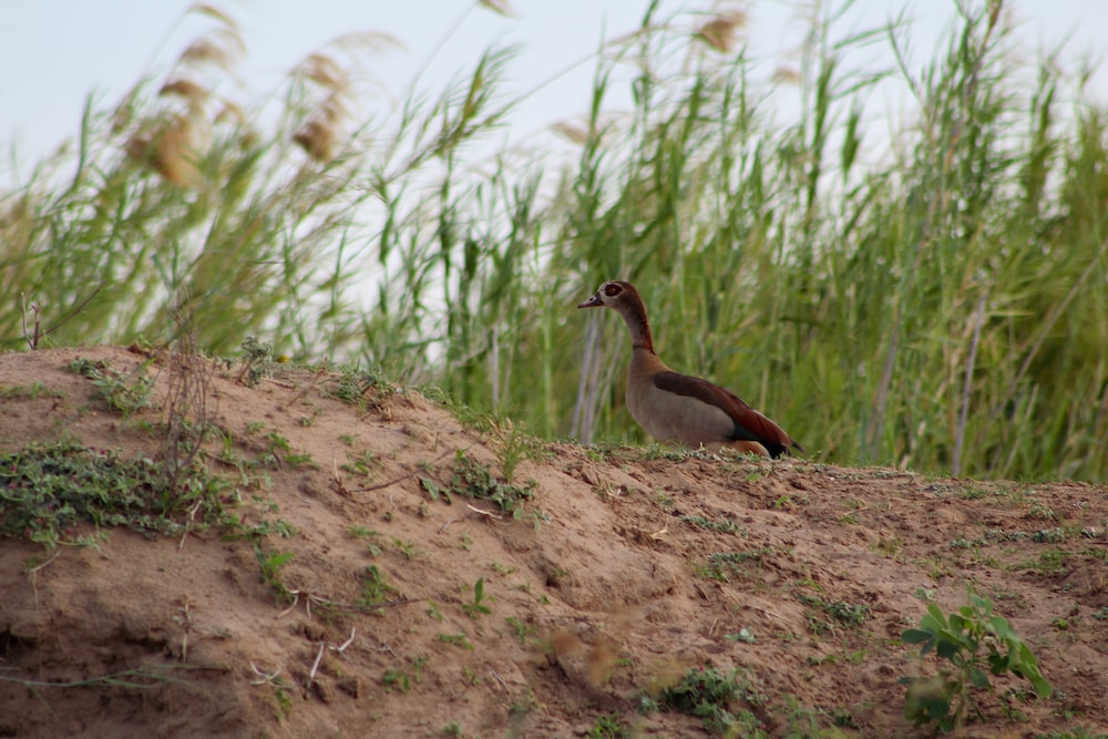 brown and white duck on brown soil