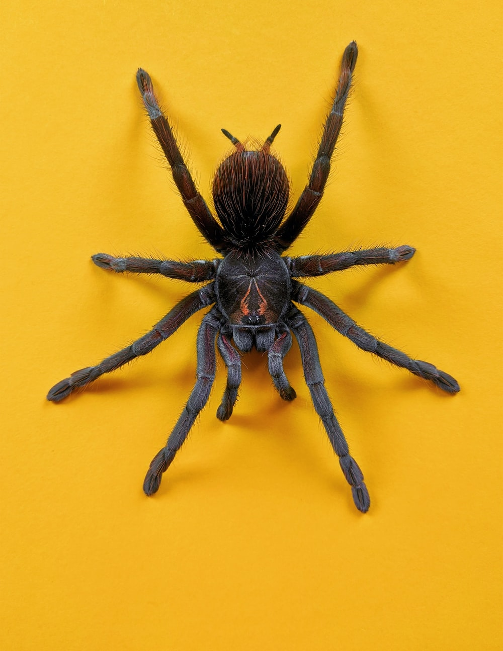 brown and black spider on yellow wall