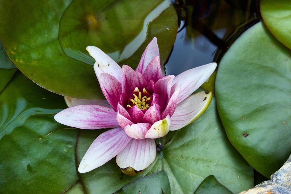 pink lotus flower on water