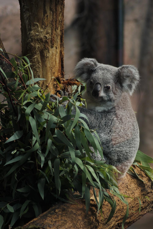 koala bear on tree branch