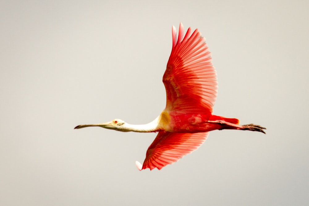 pink and white long beak bird