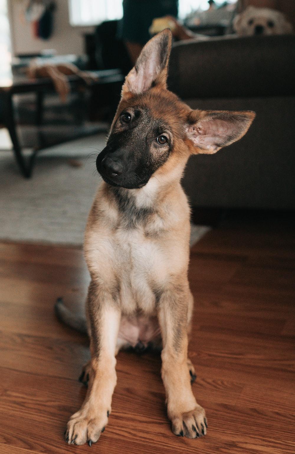 brown and black german shepherd puppy