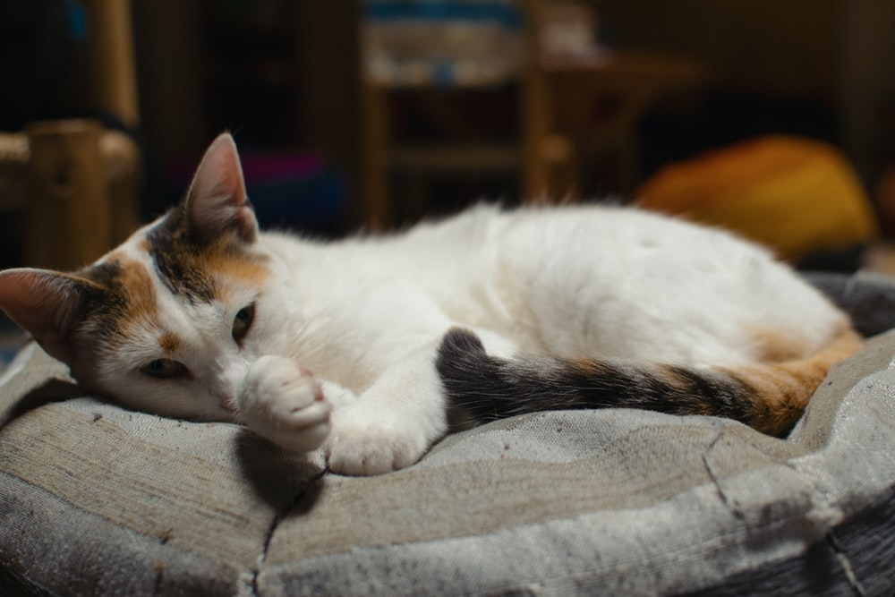 white and brown cat lying on gray textile