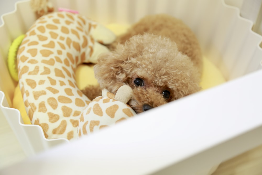 brown poodle on white plastic container