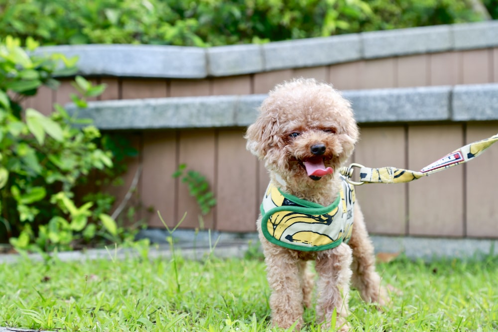 brown poodle puppy on green grass field during daytime