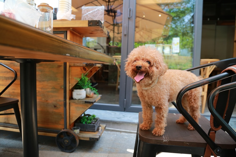 brown poodle on black and brown chair
