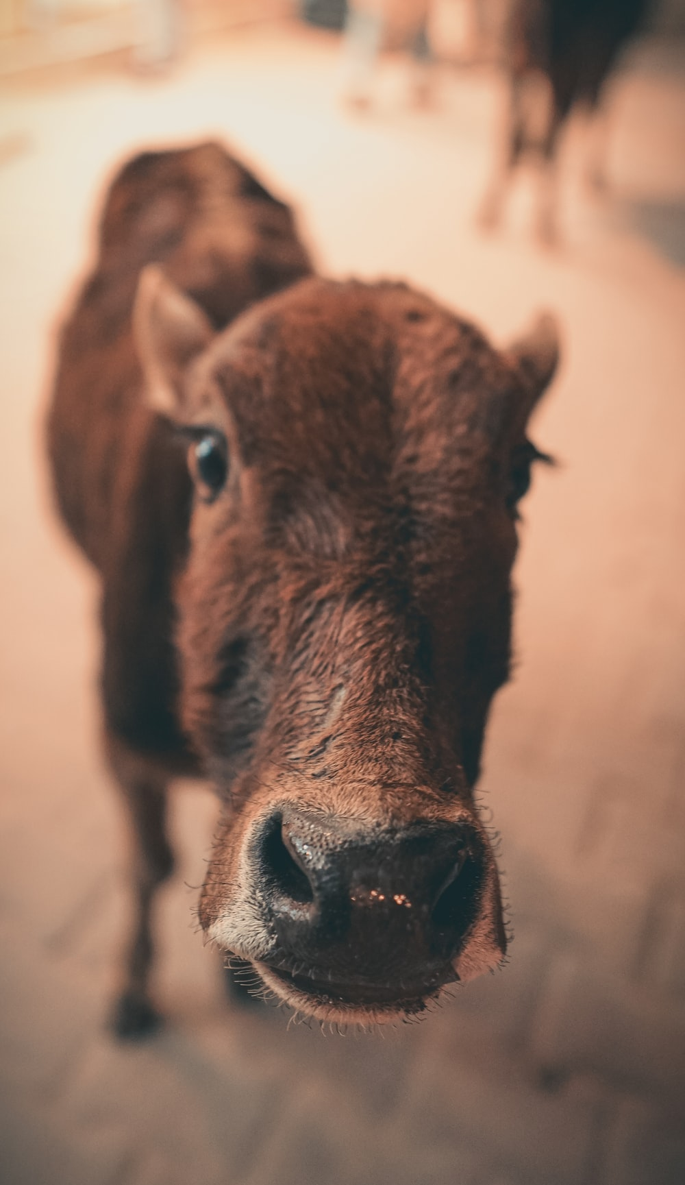 brown cow in close up photography