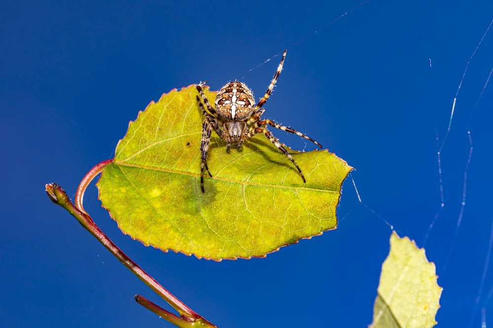 brown and black spider on yellow leaf