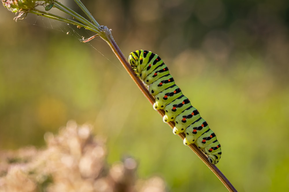 green and black caterpillar on brown stem in close up photography during daytime