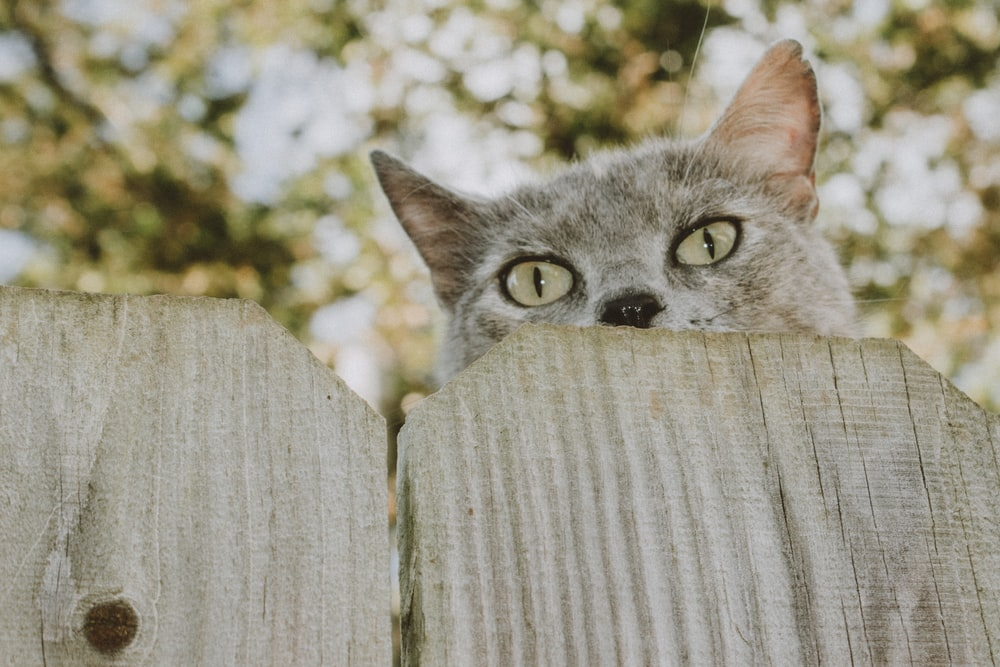 russian blue cat on brown wooden fence