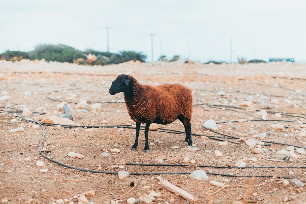 brown and black sheep on brown dirt field during daytime