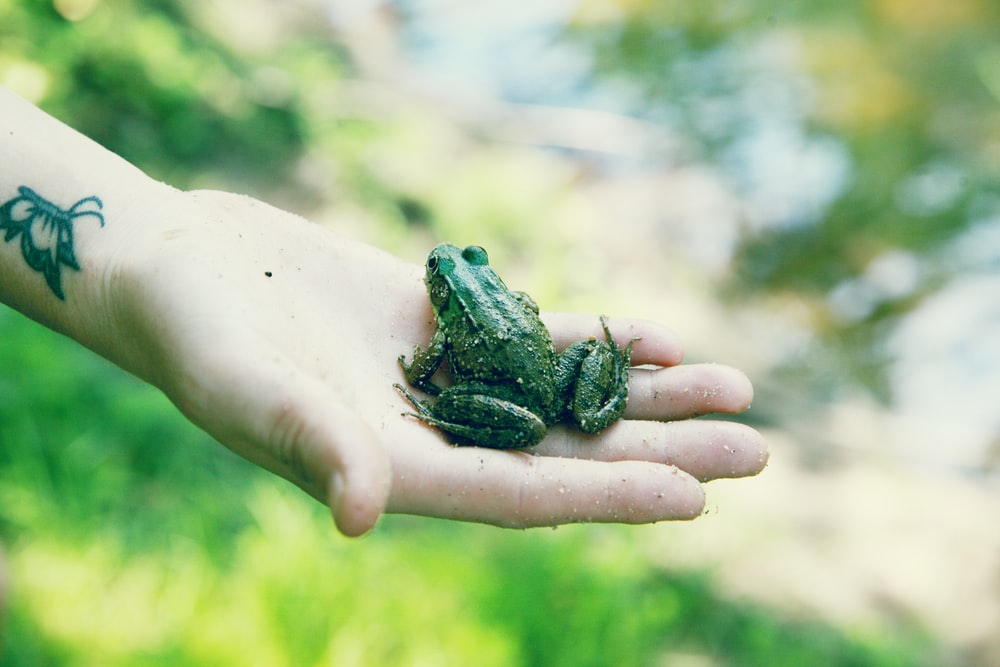 green frog on persons hand