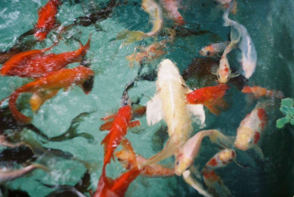 school of koi fish in water